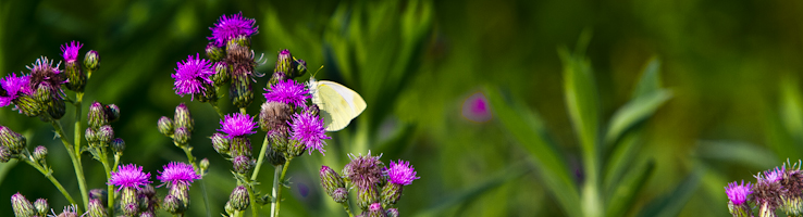 Yellow butterfly lands on purple flowers